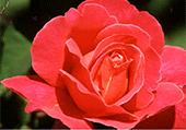 Chiffres cachés dans une rose